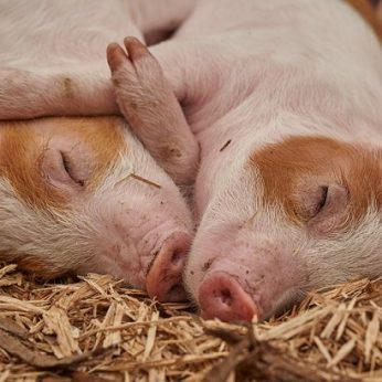 Kinų mokslininkai: gyvos kiaulės atstoja avarijų bandymų manekenus