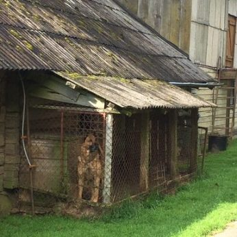 Mažame voljere įkalintas vilkšunis – gyvūnų gerovės specialistai problemos nemato