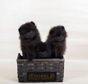 Parduodami Vokiečių mažieji špicai, gimę 2019.09.16 dieną