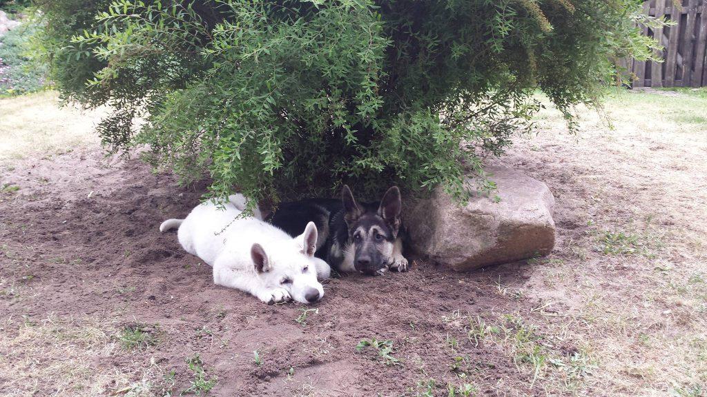 Baltieji Šveicarų aviganiai, Veislynas Iš Stašėnų, Jonava.