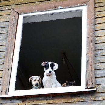 Neblaiviam mažeikiškiui langas tapo susidorojimo įrankiu išsviedė du šunis