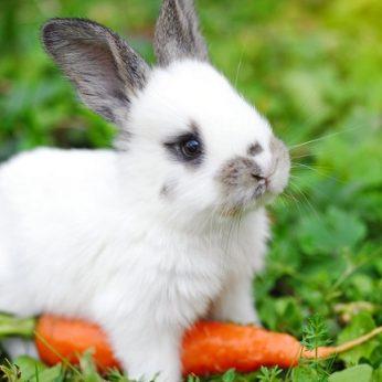 Ar triušiai iš tiesų taip jau mėgsta morkas?