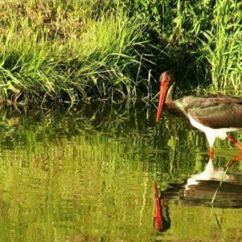 Gamtos fotografė Kėdainių miesto parke įamžino retą paukštį – juodąjį gandrą