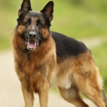 Pirmas užsikrėtęs šuo nugaišo nuo koronaviruso