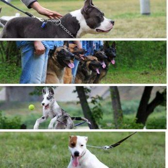 Šunų dresūros klubas Belgola