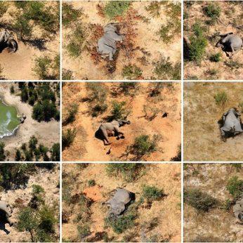 Paaiškino, kas sukėlė šiurpią 330 dramblių žūtį Botsvanoje