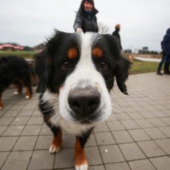 Paaiškino, kodėl negalima tiesti rankos šuniui prie nosies darote klaidą, kurios pasigailėsite