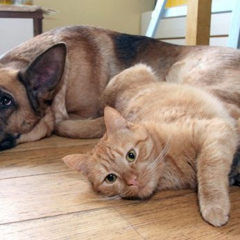 Paklausė lietuvių katė ar šuo