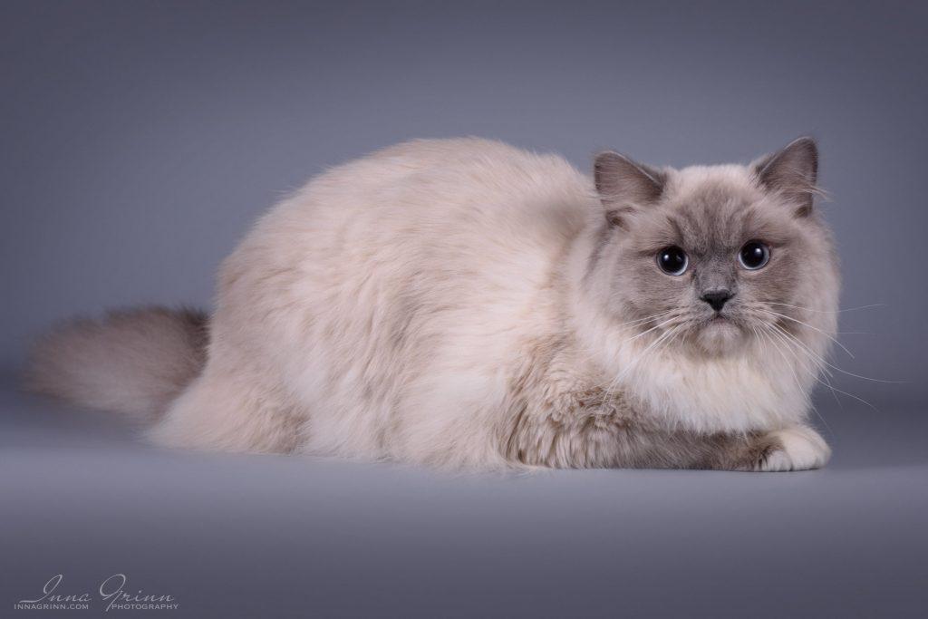Ragdoll kačių veislynas Purring Beauty