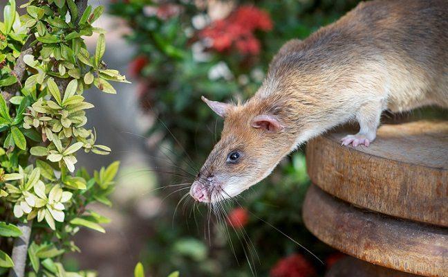 Žiurkei – aukso medalis už drąsą žmogui tam prireiktų net keturių dienų
