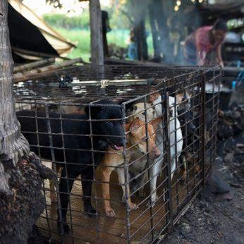Barbariška tradicija kelia siaubą šunys slapta auginami ir skerdžiami dėl mėsos