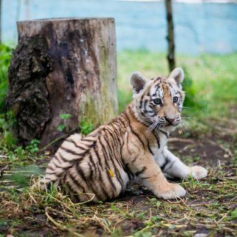 Skandalas atskleidė, kad Lietuvos zoologijos sodai dalyvauja juodojoje rinkoje parduodant tigriukus
