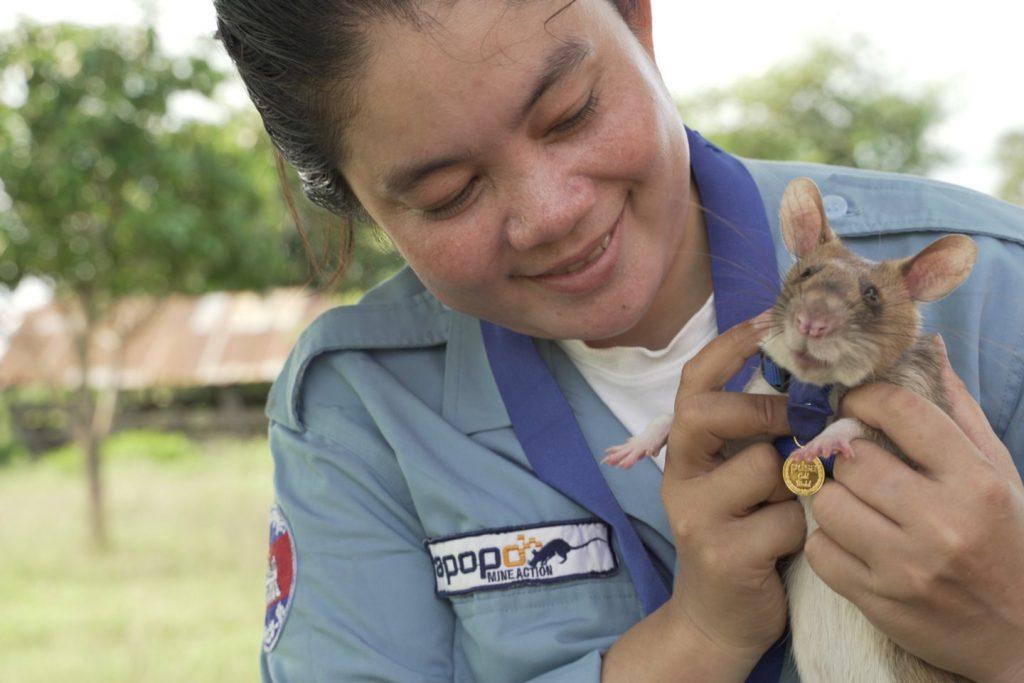 """Už savo sunkų darbą, už gyvybes gelbėjančią drąsą ir atsidavimą tarnybai žiurkė buvo apdovanota """"PDSA Aukso medaliu""""."""
