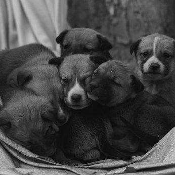 Sąsajos tarp dovanojamų ir išmestų šuniukų įrodyti nepavyko