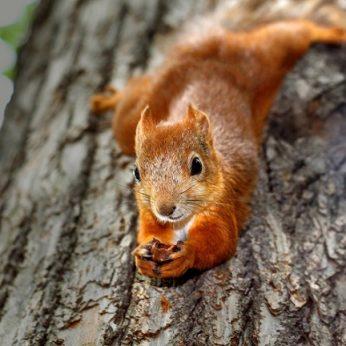 Ar voverė iškritusi iš medžio gali užsimušti