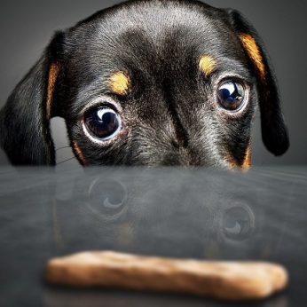 Maldaujantis šunų žvilgsnis atsirado ne šiaip sau