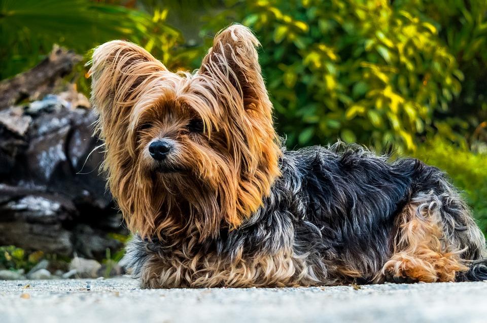 Šunų veislės: Jorkšyro terjeras. Nuotrauka pixabay.com