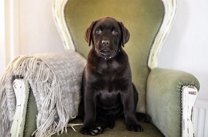 Šunų veislės: Labradoro retriveris (Labrador Retriever) – viena populiariausių veislių pasaulyje