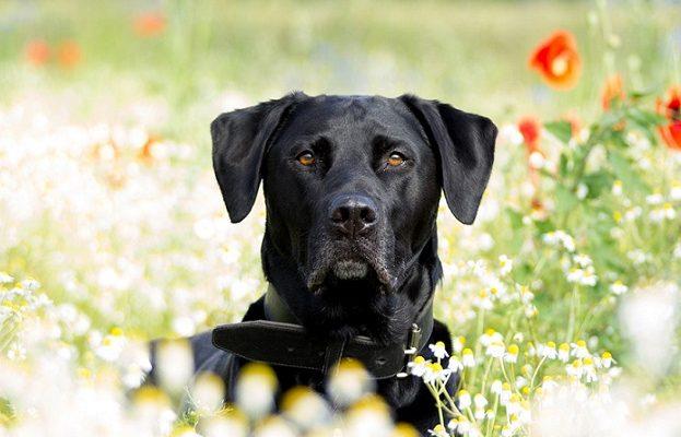 Šunų veislės Labradoro retriveris (Labrador Retriever) – viena populiariausių veislių pasaulyje