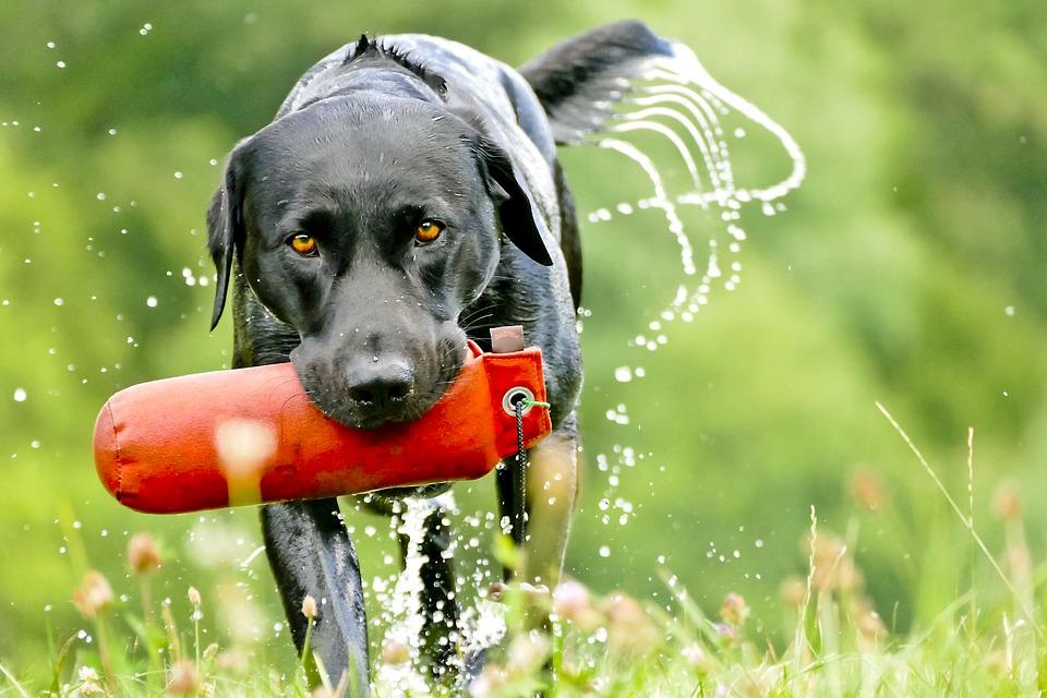 Labradoro retriveris - energingas, guvus, pakantaus būdo bei judrus šuo