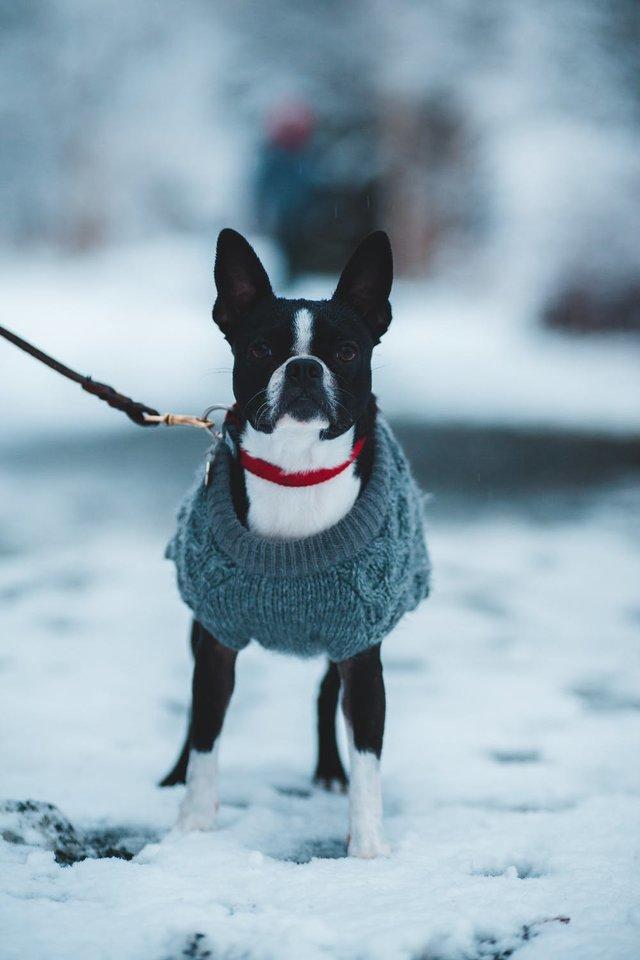 Šuns nepaklusnumas vedžiojant pavadėliu kaip išvengti augintinio agresijos prieš kitus keturkojus  Pexels.com nuotr.