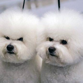 Dar vieną šuniukų pirkėją sukčiai išmaudė nei Maltos bišonų, nei pinigų