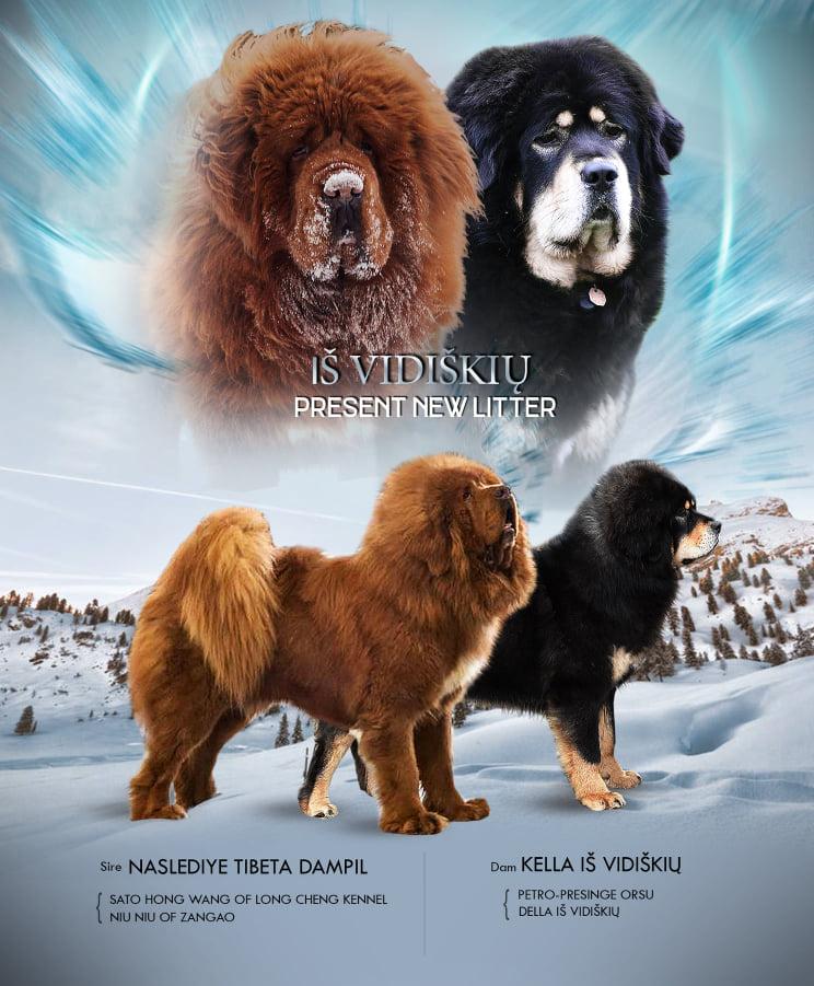Tibeto mastifų veislynas - Iš Vidiškių
