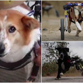 Sužalotiems šunims – šansas vėl bėgioti ir dūkti: troškimas gyventi veržiasi per kraštus