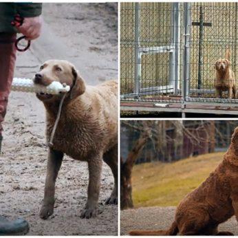 Šiaulių rajone gyvena 2 vieninteliai tokie šunys visoje Lietuvoje: maistą kasdien privalo užsidirbti