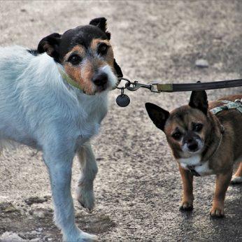 Šuns nepaklusnumas vedžiojant pavadėliu