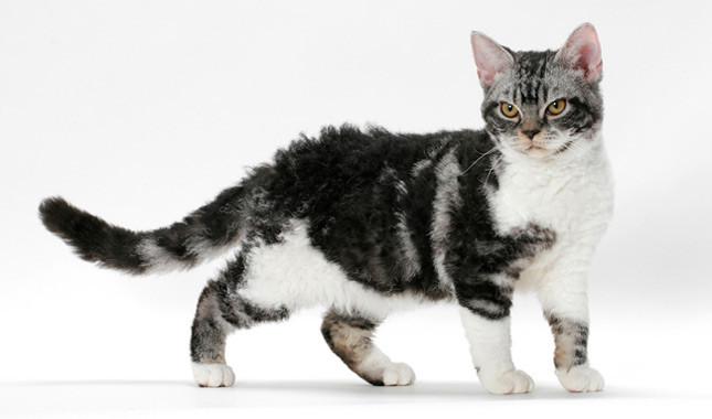 Amerikos šiurkščiaplaukės katės (American Wirehair)