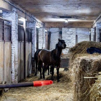 """Ar gyvūnai """"Lietuvos žirgyne"""" galėjo būti žalojami, siekiant juos parduoti pigiau?"""