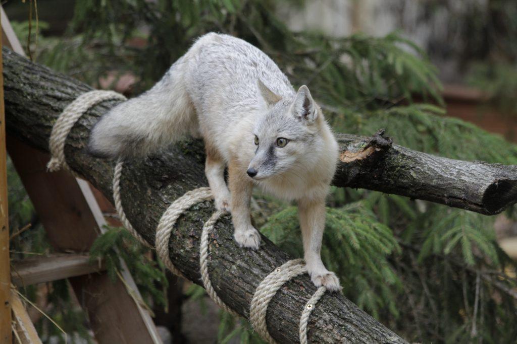 Lietuvos zoologijos sodas atveria vartus ir kviečia apsilankyti lapės