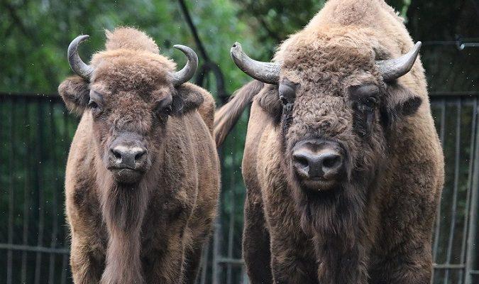 Lietuvos zoologijos sodas atveria vartus ir kviečia apsilankyti stumbrai