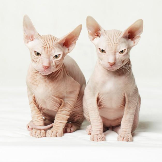 Sfinksas (Sphynx cat)