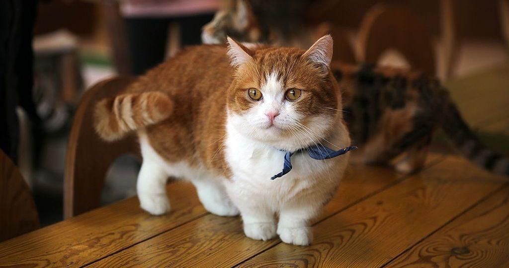 Trumpakojės katės (Munchkin)