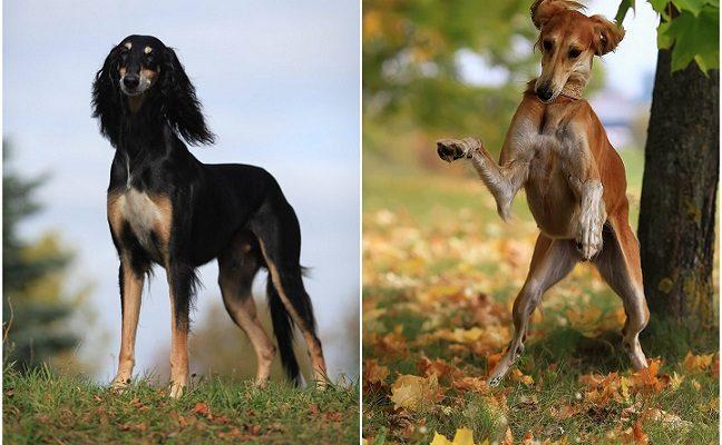 Viena paslaptingiausių šunų veislių, kuri negalėjo būti perkama ar parduodama – ypatingieji saliukiai