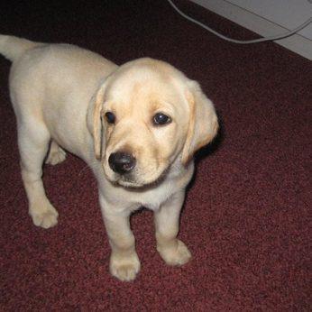 Labradorų veislės šuniuko užsigeidęs suvalkietis liko ir be augintinio, ir be pinigų