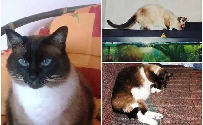 Klaipėdiečių šeimoje – rekordų knygos vertas Siamo katinas pagal žmogaus amžių būtų 116 metų