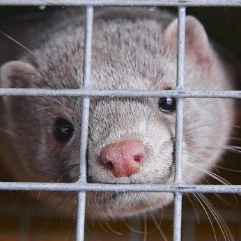 Gyvūnų mylėtojų pergalė Estijos parlamentas uždraudė kailinių žvėrelių ūkius