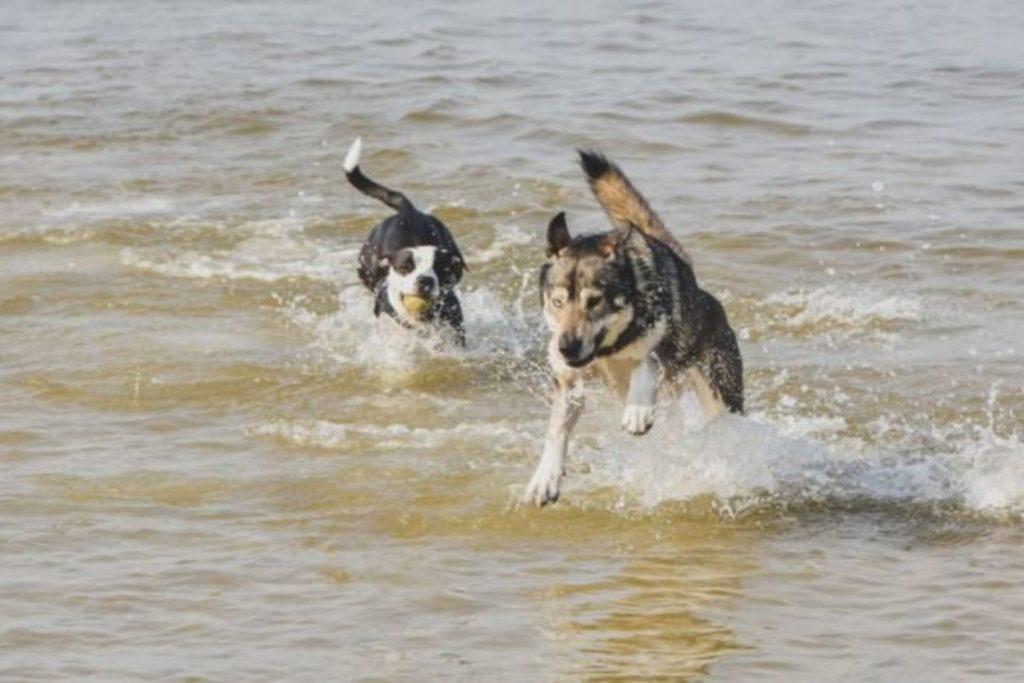 SVEIKATA. Pasak Sveikatos mokymo ir ligų prevencijos centro specialistų, šunų maudynės jūroje nekenkia žmonių sveikatai. V.Kesminės nuotr.