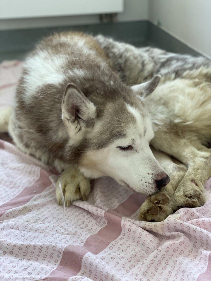 """Šuo buvo vangus, išsekęs, apleistas, dehidratavęs, nepastovėjo ant letenų, viduriavo. Prieglaudos """"Nojus"""" nuotr."""