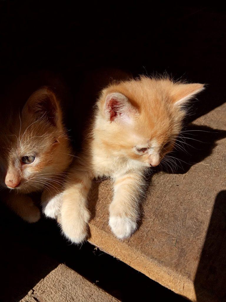 Gyvūnėliai labai gražūs, šviesiai rusvos spalvos, apie 8-10 savaičių amžiaus. Mažyliai jaukūs, eina ant rankų, nors jų mama yra lauko katytė ir atsivedė juos sode, vasaros pabaigoje.